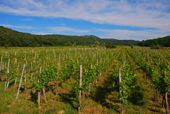 Small Vineyard in Vrbnik Croatia Royalty Free Stock Image