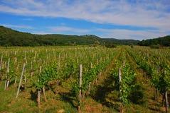Small Vineyard in Vrbnik Croatia Royalty Free Stock Image