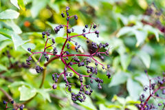 Small violet berry on tree in summer stock photography