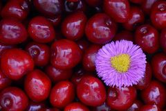 Small violet bloom lying on red cherries. Small violet bloom is lying on red cherries Stock Image