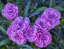 Small violet carnation flowers bunch Royalty Free Stock Photo