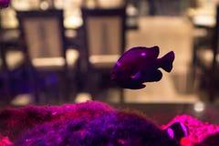Small violet fish in public fishtank. Close up beautiful violet fish swimming in aquarium in restaurant stock image
