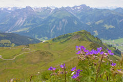 Small violet flowers from Alps, Royalty Free Stock Image