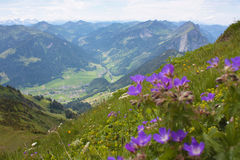 Small violet flowers from Alps, Stock Images