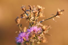Dry thistle with flowers on sunset stock photography