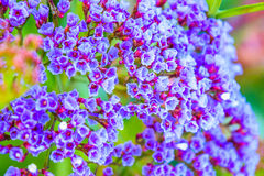 Small violet flowers Stock Image