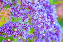 Small violet flowers Royalty Free Stock Image