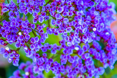 Small violet flowers Stock Photography