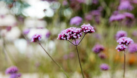 Small violet flowers verbena Royalty Free Stock Image