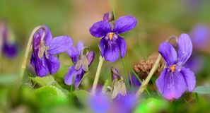 Small Violets In The Meadow Royalty Free Stock Photos