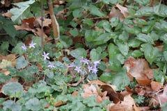 Small Campanulas in an Garden stock photos