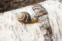 Small vivid Burgundy snail Helix, Roman snail, edible snail, es. Roman Snail - Helix pomatia. Helix pomatia, common names the Roman, Burgundy, Edible snail or Stock Images