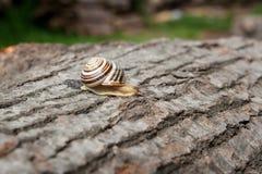 Small vivid Burgundy snail Helix, Roman snail, edible snail, es Stock Images