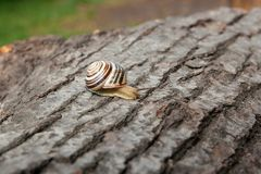 Small vivid Burgundy snail Helix, Roman snail, edible snail, es. Roman Snail - Helix pomatia. Helix pomatia, common names the Roman, Burgundy, Edible snail or Stock Photography