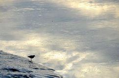 Small wader on a m. Uddy river bank Royalty Free Stock Photography