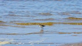 Small wader shorebird Little stint or Calidris minuta at sea shoreline, selective focus, shallow DOF.  stock images