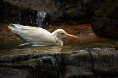 Small wading white stork Stock Photos