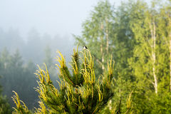small wagtail bird on a pine tree branch Royalty Free Stock Photography