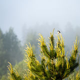 small wagtail bird on a pine tree branch Royalty Free Stock Images
