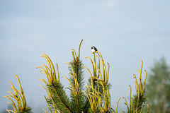 Small wagtail bird on a pine tree branch Stock Photo