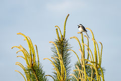 Small wagtail bird on a pine tree branch Royalty Free Stock Image
