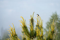 Small wagtail bird on a pine tree branch Stock Image