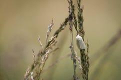 Small Wainscot moth Royalty Free Stock Photography