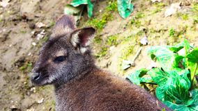 A small wallaby chews on a green background. stock video footage