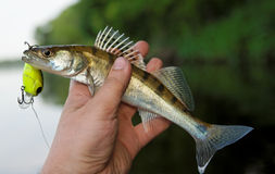 Small walleye in fisheman's hand Royalty Free Stock Image