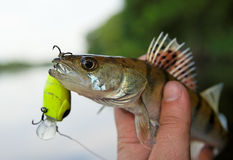 Small walleye in fisheman's hand Royalty Free Stock Photo