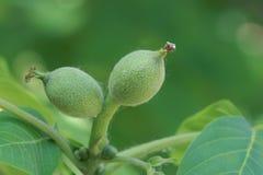 Small walnut fruits Stock Photo