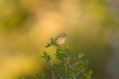 A small warbler perched in a bush. Watching me set up to photograph him Royalty Free Stock Photo