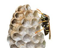 Small wasp 10 Royalty Free Stock Photos