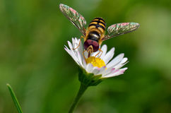 Small wasp with daisy Stock Photo