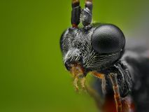 small wasp head taken with microscope objective stacked from many shots Royalty Free Stock Images