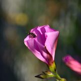 Small wasp inside a morning glory flower. Morning glory flower and wasp Stock Photos