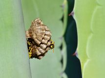 Small wasp nest Royalty Free Stock Photography