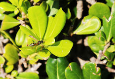 A small wasp Royalty Free Stock Images