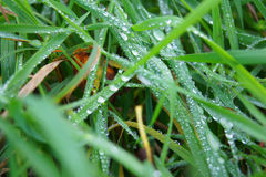 Small water drops of a dew on the green fresh grass with foliage. Royalty Free Stock Photography