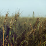 Small water drops over wheat on the field - vintage Royalty Free Stock Photography