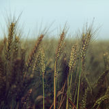Small water drops over wheat under blue sky - vintage Stock Photo