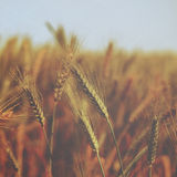 Small water drops over wheat - vintage Stock Image