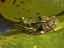 Small water frog on a green leaf in a pond royalty free stock photography