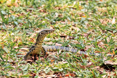 A Small Water Monitor Lying On Green Grass Royalty Free Stock Images