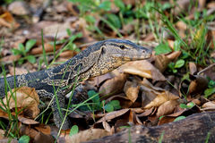 Small water monitor pauses to look Royalty Free Stock Image