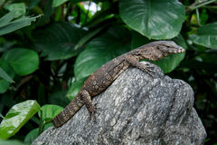 Small Water monitor Stock Photo