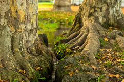 Small water stream between two big trees in a park Royalty Free Stock Image