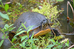 Small water turtle. In the wild nature Stock Images