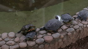 Small water turtles lie near the pond.  stock footage