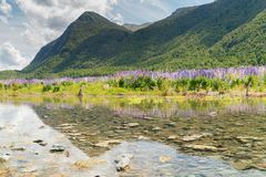 Small water way with full bloom lupine flower. And mountain background stock images